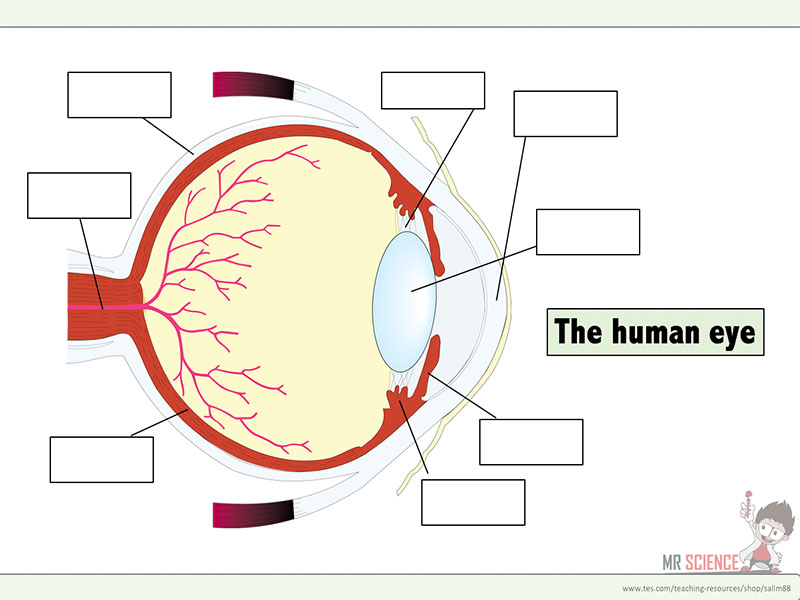 Structure of the Eye worksheet by njayri Teaching Resources Tes – Structure of the Human Eye Worksheet