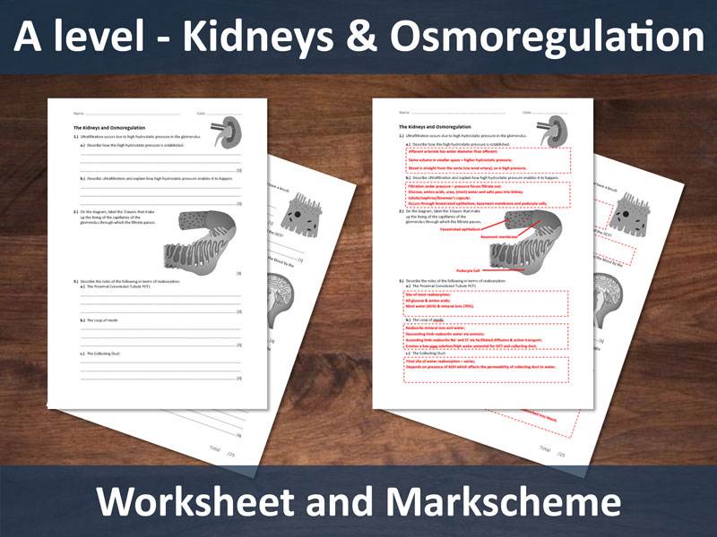 Kidneys and Osmoregulation Worksheet for A-level