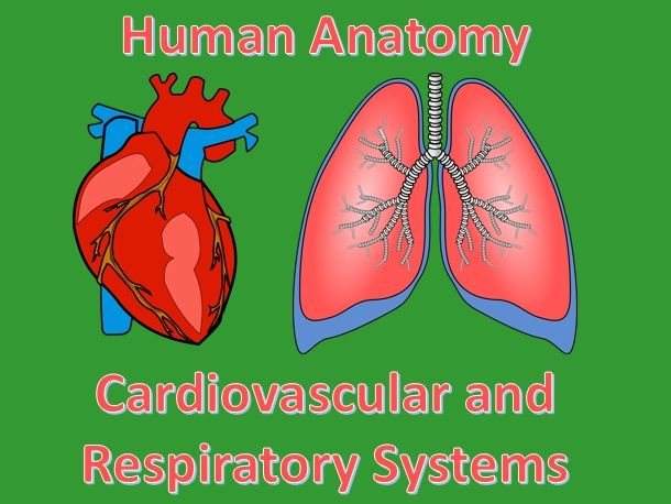 Human Anatomy Quiz: Cardiovascular and Respiratory Systems