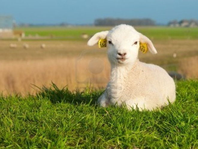 Australian Agriculture: Sheep Parasites Assignment