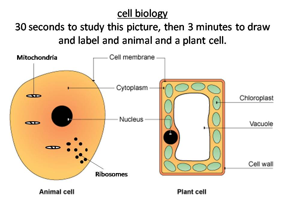 Plant And Animal Cells Structure And Function