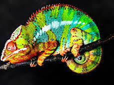 Reading Comprehension: The Panther Chameleon