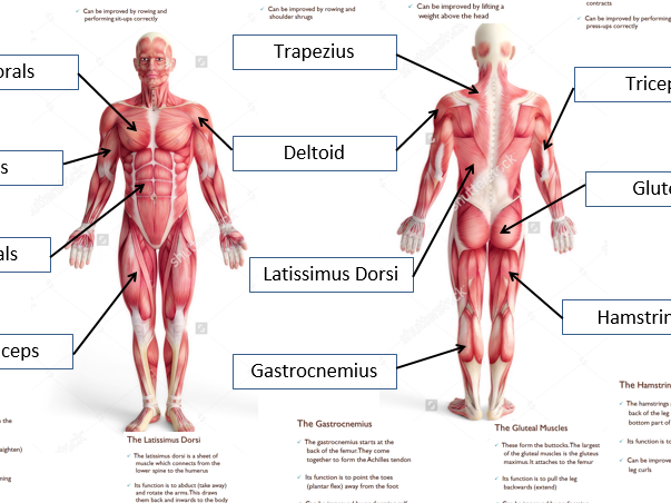 GCSE PE - Muscular System (Full lesson)