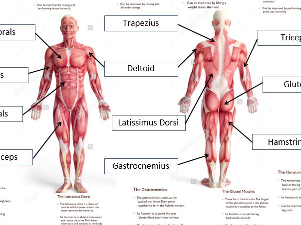 Human Body Diagram Gcse