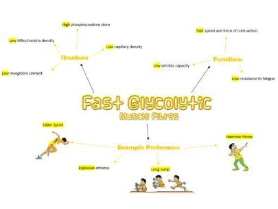 Fast Glycolytic Muscle Fibres Poster AS PE OCR