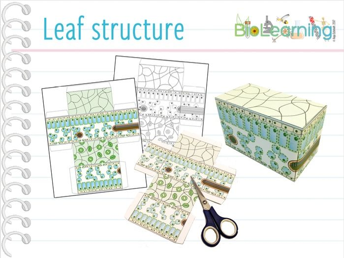 Leaf Structure - Craft activity (KS3/4)