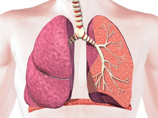 Lung Structure and Function