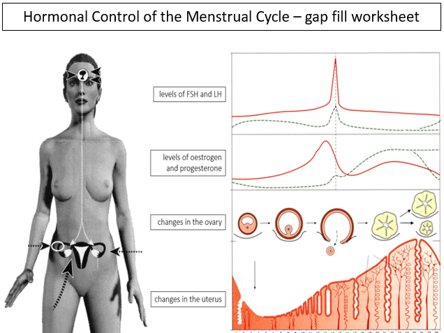 Hormonal Control of the Menstrual Cycle - gap fill exercise