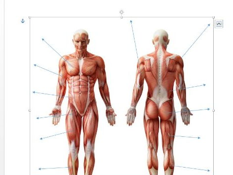 edexcel new gcse pe 9 1 muscles of the body diagram and separate Human Muscular System Diagram Unlabeled muscles of the body diagram and separate sheet containing names by tom1414 teaching resources tes