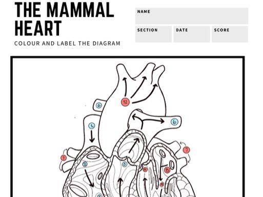 L2 Animal Care: Biology Mammal Heart Colour & Label