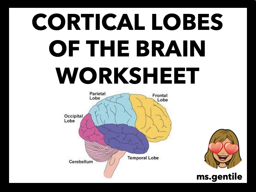 Cortical Lobes and Association Area of the Brain