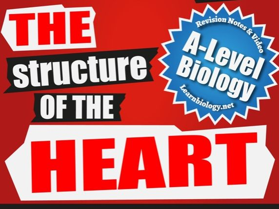 The Structure of and Blood Flow through the Heart:  Biology Revision Notes / worksheet
