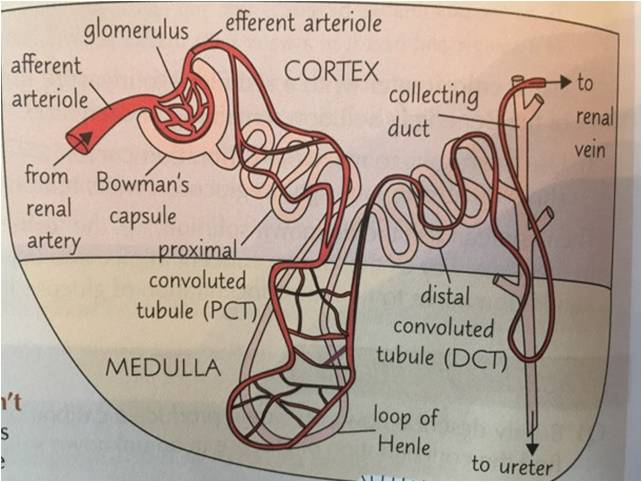 Structure and Function of Kidneys (and structure of Nephron)