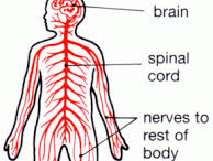 Year 12 Applied Science Unit 4 - The Nervous System