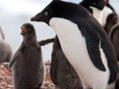 Adelie penguins - reading comprehension