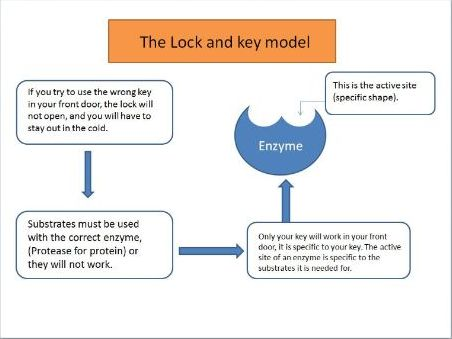 Enzyme Specificity (Lock and Key)