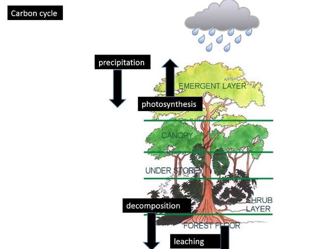 A Level; case study of a rainforest - carbon cycles in the Amazon Rainforest