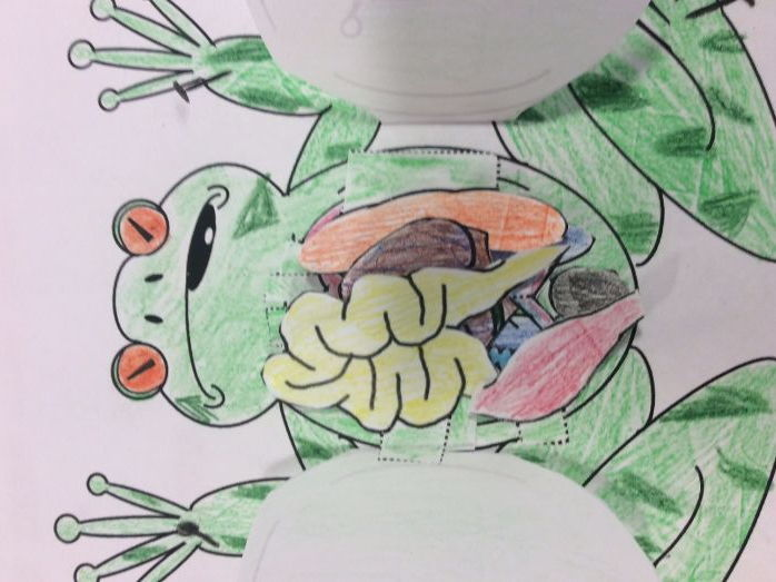 Frog Dissection foldable, interactive notebook, printable showing organs & organ systems 3D model
