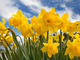 'Daffodils in Spring' Glockenspiel Performance Piece for Key Stage 1 and Lower Key Stage 2 pupils