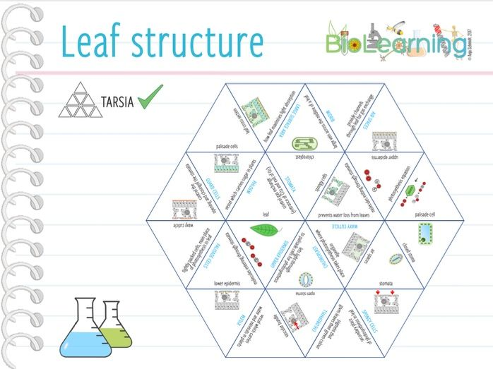 Leaf structure - Tarsia (KS3/KS4)