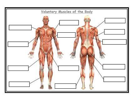 AQA - GCSE Physical education - Blank Muscles worksheet