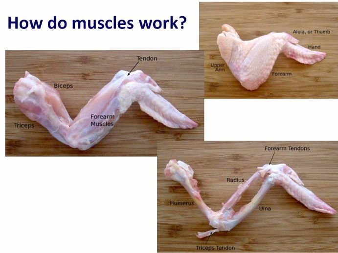 Antagonistic Muscles and Moving Year 7 Lesson PowerPoint (KS3 7Cd) Muscles and Bones topic