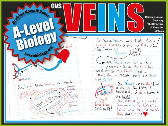 The Structure and Function of Veins - A-Level Biology Revision Notes and Worksheet