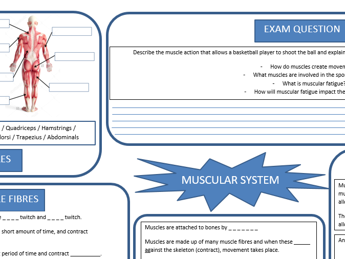 GCSE PE - Muscular system revision sheet