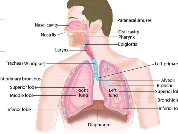 Respiration System Y7/8