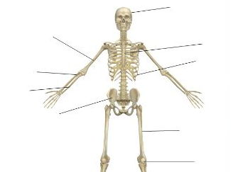 AQA New GCSE PE 9-1. Skeleton Diagram and a list of the bones of the body.