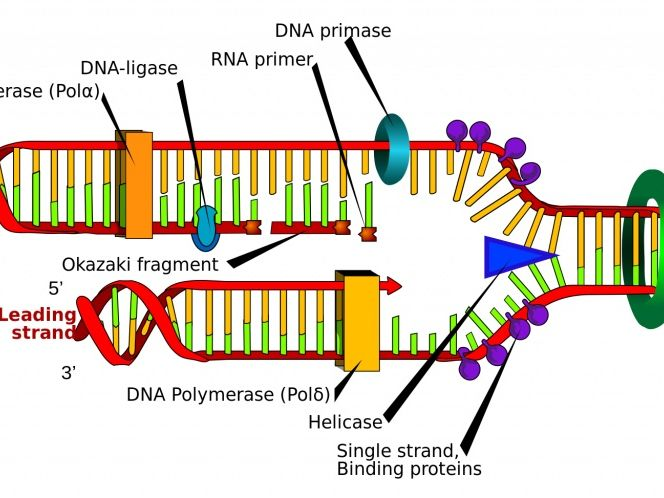DNA Struture, Function and Replication