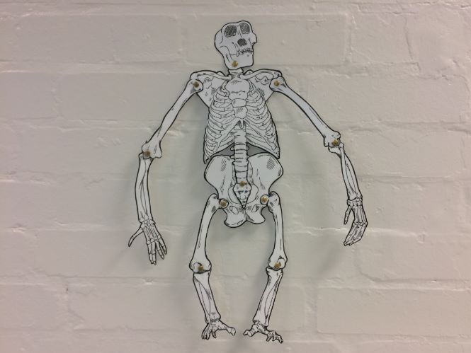 Skeleton KS3 - Build A Skeleton - Gorilla Organ systems