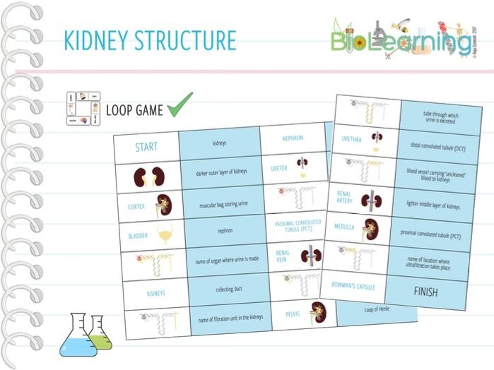 Structure of the Kidneys - Loop Game (KS4)