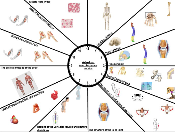 Skeletal and Muscular System Revision Clock Pack