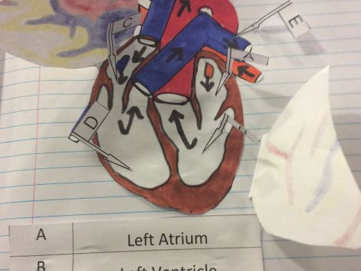 Foldable Dissection of the Heart. Structure of the heart 3D interactive model.