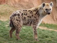 Year 8 Animal Poetry - Hyena