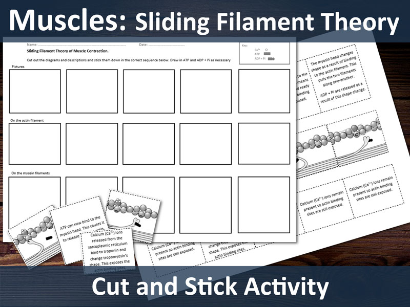 Biology A Level - Muscles - Sliding Filament Theory Cut & Stick Activity