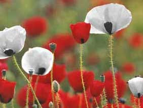 A Tale of Two Poppies