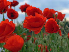 Poppies - Jane Weir - Annotations