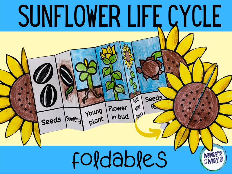 Sunflower life cycle foldable