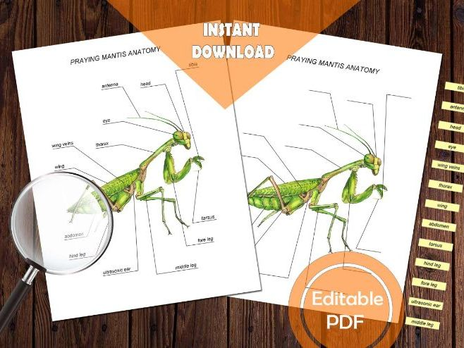 PRAYING MANTIS ANATOMY / Editable Watercolor / Homeschool Printable / Education Resources / Insect