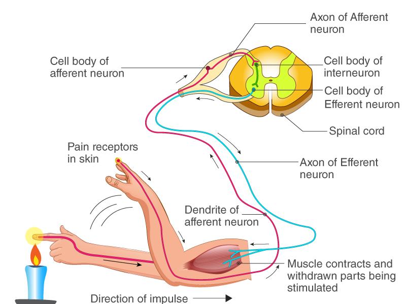 AQA GCSE (Triple/ Combined 9-1) -B10 Human Nervous System - 10.3 Reflex Actions Worksheet