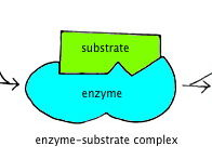 OCR A level Biology Chapter 4 Enzymes
