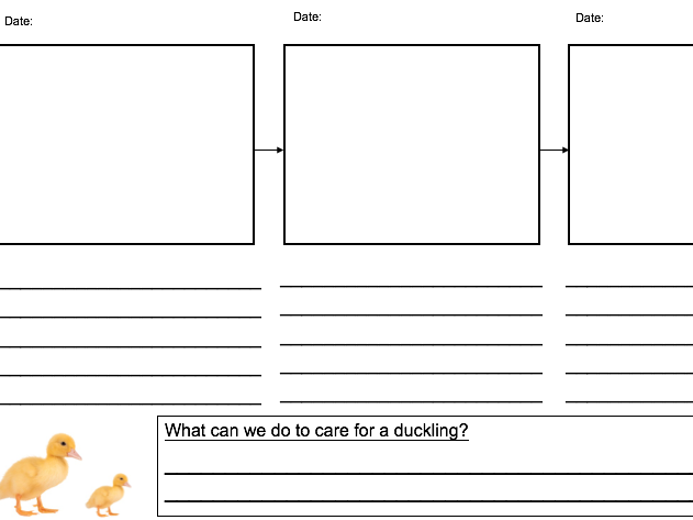 Class Ducklings Observation Sheet- Life Cycle