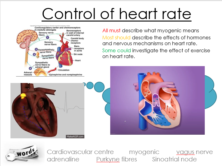 OCR A Alevel Biology, Animal responses, Co-ordination of heart rate powerpoint and worksheets