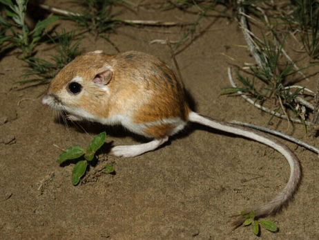 Kangaroo rat kidney adaptations