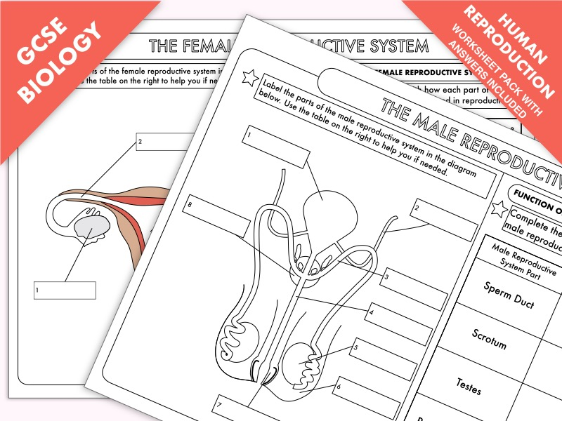 The Human Reproductive System by Astronyxis - Teaching Resources - Tes