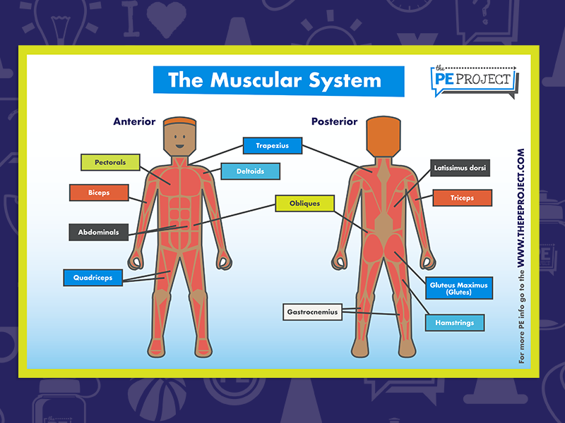 FREE: The Muscular System Poster