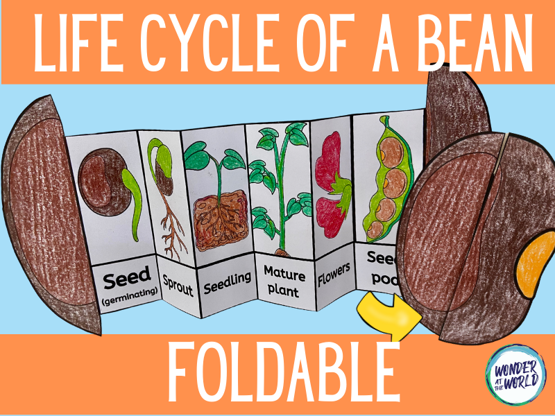 Life cycle of a bean plant foldable