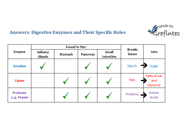 Digestive enzymes; their specific roles and locations in the human body